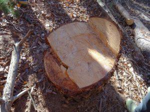 樹齢60年のカラマツ