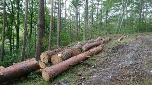 令和2年度 野鳥の小径脇のアカマツ間伐材