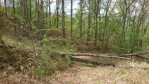 倒れたさくらの木