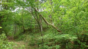 よく見ないと分からない危険木: サクラの小径木が枯れたアカマツを支えている。