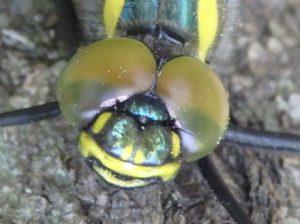 昆虫の眼 複眼
