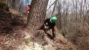 アカマツ大径木の伐倒