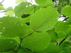 ハクウンボク 葉柄の基部が膨み